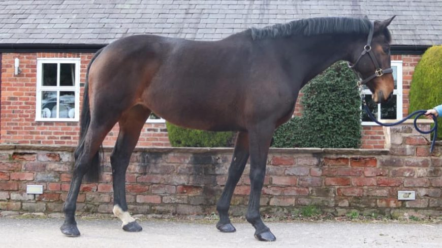 15.2 11yr old mare Intermediate WH / Eventer PRICE REDUCED
